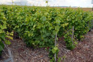 Vinranker så langt man kan se i den kalkrike jorden.